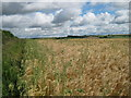 SE6865 : Barley  and  Wild  Oats  on  the  Bridleway  to  Stittenham  Hill by Martin Dawes
