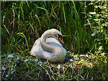 SD7706 : Swan on Nest by David Dixon