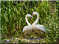 SD7706 : Nesting Swans by David Dixon