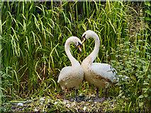 SD7706 : Nesting Swans by David Dixon