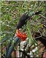 SX9265 : Blackbird feeding on rowan berries by Derek Harper