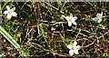 NT6578 : Saltmarsh Flora by Anne Burgess