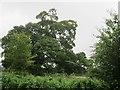 N0845 : Oak tree by Richard Webb