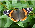 TL6566 : Red Admiral on The Icknield Way by Richard Humphrey