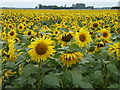 TF2217 : Sunflower field near Deeping St Nicholas by Richard Humphrey