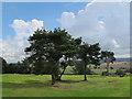 SJ5359 : Beeston castle:pine trees by Stephen Craven