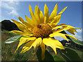 SY9787 : Arne sunflower by Farai Zengeni