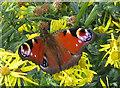TA1281 : Peacock butterfly on ragwort by Pauline E