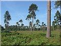 SU8968 : Cleared area, Whitmoor Bog by Alan Hunt