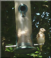 SD4678 : Immature goldfinch on a seed feeder by Karl and Ali