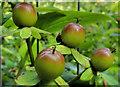 J4681 : Tutsan berries, Crawfordsburn (7) by Albert Bridge