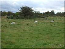 SE7287 : Sheep grazing by Headlands Road by JThomas