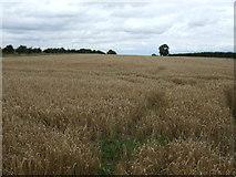SE7388 : Crop field off Kirkgate Lane by JThomas