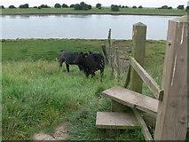 TF3839 : Cows near a stile by Mat Fascione