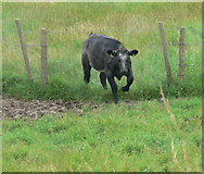 TF3839 : Cow negotiating a fence by Mat Fascione