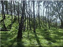 SK2479 : Birch woodland, Bole Hill by Andrew Hill