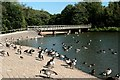 SK6465 : Waterfowl on Rufford Lake by Graham Hogg