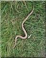 SN7599 : Slow worm, Glyndwr's Way by Derek Harper