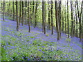 ST3993 : wentwood bluebells in the spring by richard wyson
