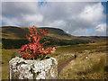 NN5794 : Rowan seedling, Glen Markie fence post by Karl and Ali