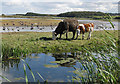 TG0544 : Cow and calf on coastal marshes by Pauline E