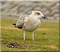 J6563 : Juvenile gull, Ballyhalbert by Albert Bridge
