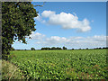 TF9731 : Sugar beet crop by Croxton Mill by Evelyn Simak
