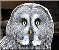 SO2954 : Great Grey Owl at Small Breeds Farm and Owl Centre, Kington, Herefordshire by Christine Matthews