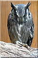 SO2954 : White-faced Owl at Small Breeds Farm and Owl Centre, Kington, Herefordshire by Christine Matthews