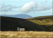 NY4614 : A Swaledale sheep on Long Grain by Karl and Ali