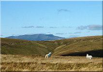 NY4614 : Sheep on Long Grain by Karl and Ali