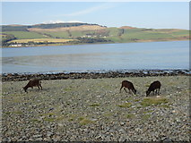 NS0531 : Dark brown soay sheep on Holy Isle shore  looking towards Clauchlands by Brian Robertson