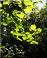 SX8964 : Hazel leaves, woodland near Cockington Lane by Derek Harper
