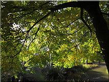 SX9164 : Ash tree, Upton Park by Derek Harper