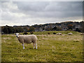 NY9864 : Sheep Pasture at Corbridge by David Dixon
