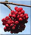 NJ3362 : Rowan Berries by Anne Burgess