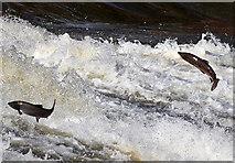 NT4427 : Salmon jumping at Murray's Cauld, Philiphaugh by Walter Baxter