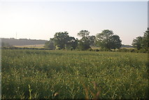 TG1508 : Oilseed rape by N Chadwick