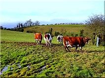 H5064 : Cows, Moylagh by Kenneth  Allen