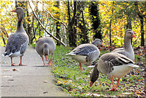 J4774 : Greylag geese, Kiltonga, Newtownards (5) by Albert Bridge