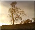 NT7854 : An ash tree at Duns Law by Walter Baxter