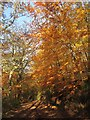 SX7268 : Beech leaves, Hembury Woods by Derek Harper