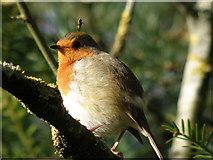 SE2768 : Robin  in  the  Sunshine by Martin Dawes