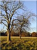 TQ2172 : Two conker trees, Richmond Park by Stefan Czapski