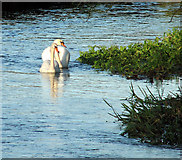 TG2105 : Swans on the River Yare by Keswick Mill by Evelyn Simak