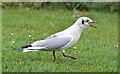 J4968 : Black-headed gull, Islandhill, Comber (2) by Albert Bridge