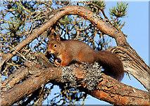 NH9818 : A red squirrel at Loch Garten RSPB Reserve by Walter Baxter