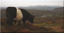 SD3683 : A 'Beltie' on Bigland Barrow by Karl and Ali