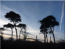 NT6378 : East Lothian Landscape : Pines at Hedderwick Point by Richard West
