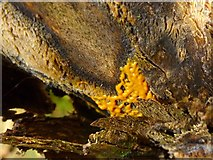 NS3983 : A slime mould - Badhamia utricularis (plasmodium) by Lairich Rig